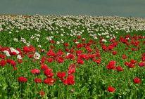 Mohn, Blüte, Feld, Rot