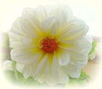 Blumen, Fokussieren, Weiß, Dahlien