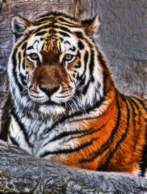 Tiger, Fotografie