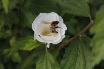 Blüte, Biene, Hummel, Honig