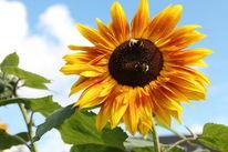 Sonnenblumen, Garten, Hummel, Fotografie