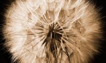 Fotografie, Pusteblumen, Blumen, Natur