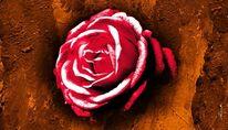 Blumen, Pflanzen, Rose, Liebe