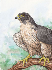 Greifvogel, Vogel, Falke, Wanderfalke