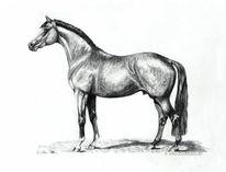 Pferdezeichnung, Deckhengst, Realismus, Bleistiftzeichnung