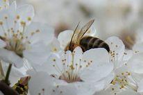 Biene, Blüte, Frühling, Fotografie