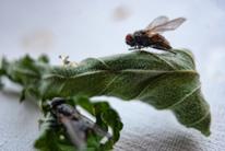 Lamm, Blätter, Fliege, Fotografie