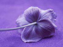 Demütige anemone, Pflanzen, Stimmung, Blumen