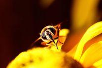 Tiere, Sommer, Insekten, Gelb