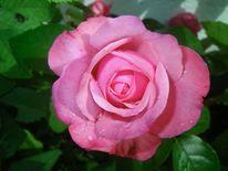 Pflanzen, Blumen, Rosa, Natur