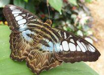 Flügel, Schmetterling, Fotografie