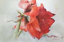 Amaryllis, Blüte, Blütenmalerei, Aquarell