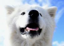 Hund, Samoyede, Hundeportraits, Fotografie