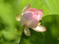 Blätter, Sonnenlicht, Blüte, Lotos