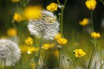 Pusteblumen, Dämmerung, Hahnenfuß, Blumen