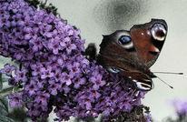 Sommerflieder, Freude, Schmetterling, Gewirr