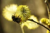 Frühling, Erdhummel, Blühen, Weide