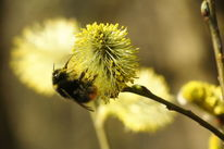 Frühling, Erdhummel, Blüte, Weide