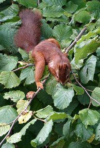 Eichhörnchen, Rot, Fotografie,