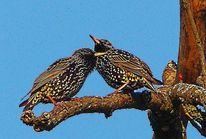 Kastanien, Vogel, März, Äste