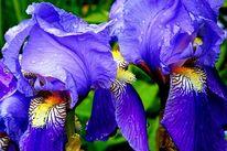 Iris, Blau, Tropfen, Fotografie