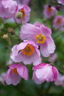 Rosa, Weiß, Anemonen, Fotografie