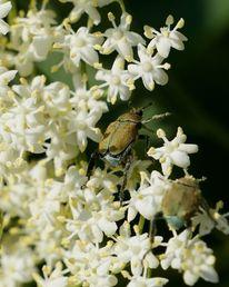 Holunderblüten, Sternchen, Weiß, Käfer