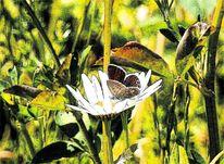 Schmetterling, Weiblich, Margerite, Gras