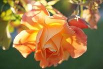 Blüte, Dämmerung, Leichtigkeit, Glühen