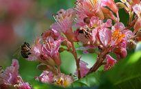 Biene, Frühling, Kastanienblüte, Blühen