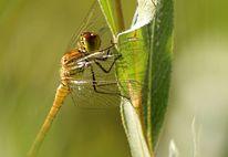 Libelle, Morgengrauen, Blätter, Grün