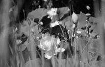 Blätter, Blüte, Lotos, Fotografie