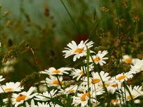 Wiese, Blühen, Blüte, Margerite