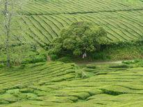 Teeplantage, Azoren, Tee, Grün