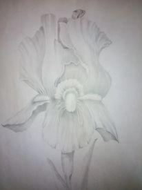 Blumen, Bleistiftzeichnung, Zeichnung, Iris