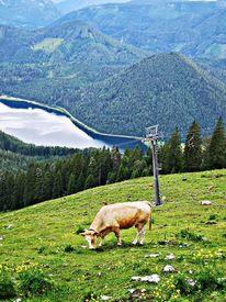 Alm, Natur, Kuh, Fotografie