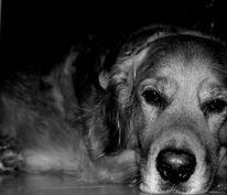 Hund, Tier, Golden retriever, Fotografie