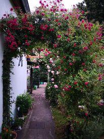 Rose, Laguna, Fotografie,
