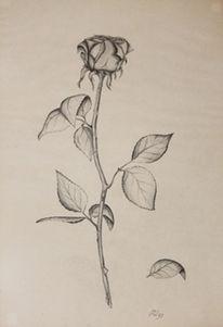 Zeichnung, Natur, Blumen, Rose