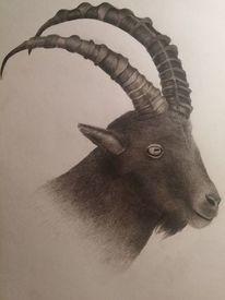 Steinbock, Zeichnung, Zeichnungen, Tiere