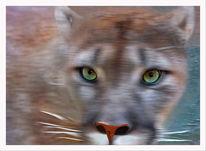 Puma concolor, Natur, Farben, Berglöwe