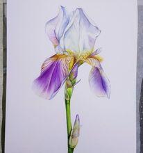 Lilie, Öko, Botanik, Aquarellmalerei