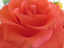 Fotografie, Rose, Natur, Pflanzen
