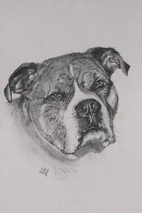 American staffordshire terrier, Bleistiftzeichnung, Hund, Zeichnungen
