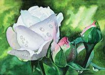 Blüte, Knospe, Rose, Tau