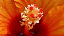 Staubgefäße, Orange, Blumen, Fotografie