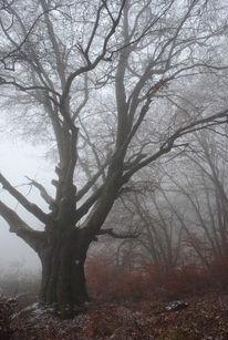 Nebel, Morgen, Baum, Naturdenkmal