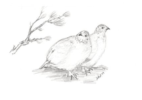 Bleistiftzeichnung, Winter, Schneehühner, Zeichnungen