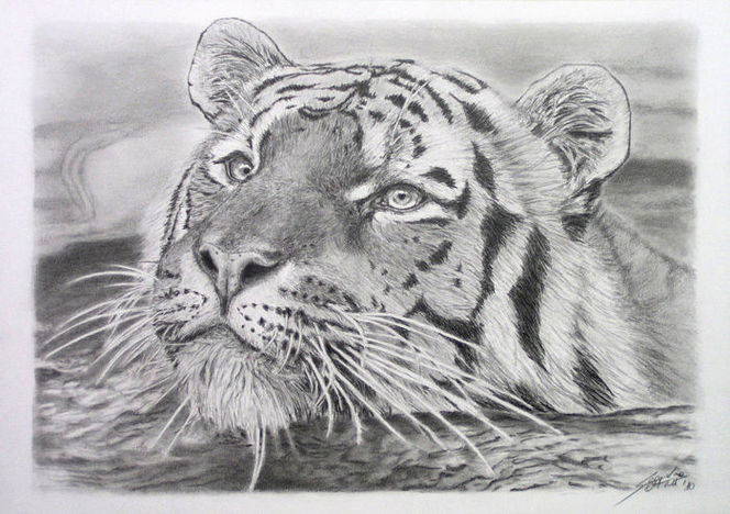 Zeichnung, Bleistiftzeichnung, Grafit, Tiere, Swimming tiger, Katzenzeichnung