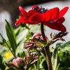 Blumen, Makro, Frühling, Anemonen